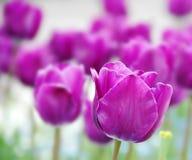 tulipani di porpora della priorità bassa Fotografia Stock