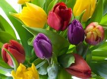Tulipani di primavera Immagini Stock