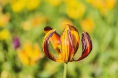 Tulipani di primavera Fotografia Stock