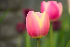 Tulipani di Rosa nel giardino Fotografia Stock Libera da Diritti