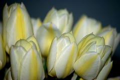 Tulipani di saluto Fotografia Stock
