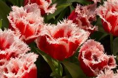 Tulipani di Santa Claus Immagini Stock