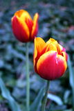 Tulipani di spiegamento fotografie stock libere da diritti