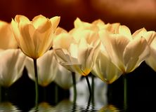 Tulipani di tramonto (molto dettagliati) Immagine Stock