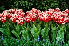 Tulipani di Triumph fotografie stock libere da diritti