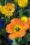 Tulipani dopo il loro ancora bello principale fotografie stock libere da diritti