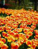 Tulipani dorati Fotografia Stock Libera da Diritti