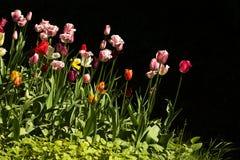 Tulipani, due Fotografie Stock