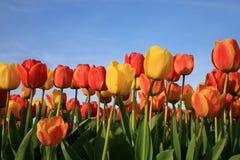 Tulipani e cielo blu Fotografie Stock