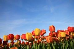 Tulipani e cielo blu Fotografia Stock Libera da Diritti