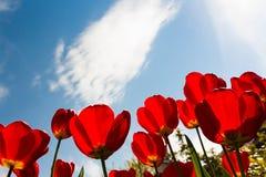 Tulipani e cielo blu della primavera rossa Fotografie Stock Libere da Diritti