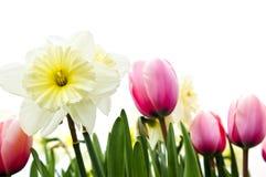 Tulipani e daffodils su priorità bassa bianca Immagini Stock Libere da Diritti
