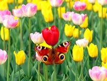 Tulipani e farfalla della sorgente Fotografia Stock