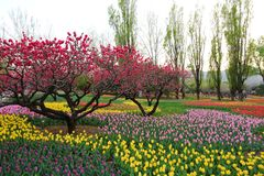 Tulipani e fiori della pesca in primavera del giardino fotografia stock