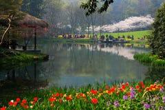 Tulipani e fiori di ciliegia Fotografia Stock Libera da Diritti