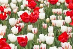 Tulipani e fiori pieni di colore in primavera Immagine Stock
