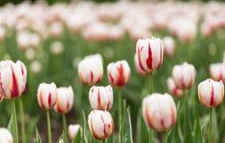Tulipani e fiori pieni di colore in primavera Fotografia Stock