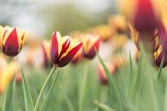 Tulipani e fiori pieni di colore in primavera Immagine Stock Libera da Diritti