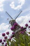 Tulipani e fondo porpora del mulino a vento Immagini Stock