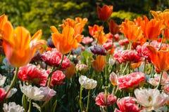 Tulipani e garofani che fioriscono in un letto di fiore a Frederik Meijer Gardens immagine stock
