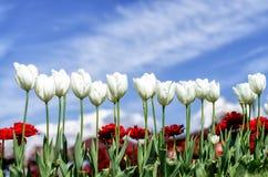 Tulipani e garofani rossi in primavera Fotografia Stock Libera da Diritti