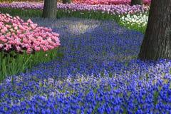 Tulipani e Muscaris Immagine Stock Libera da Diritti