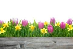 Tulipani e narcisi della primavera fotografia stock libera da diritti