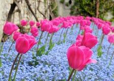 Tulipani e nontiscordardime, dof poco profondo fotografia stock libera da diritti