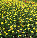 Tulipani e papaveri Fotografia Stock