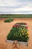 Tulipani e pattini di legno Immagini Stock