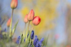 Tulipani e tandem del muscari Immagini Stock Libere da Diritti