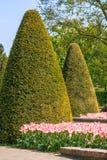 Tulipani ed alberi a forma di coned fotografia stock libera da diritti