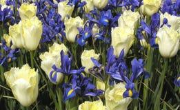 Tulipani ed iridi Fotografie Stock