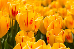 Tulipani felici gialli luminosi nel Michigan in primavera Immagine Stock Libera da Diritti