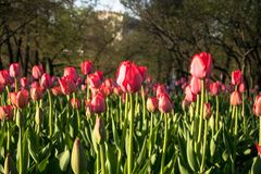 Tulipani festivi su un'aiola immagini stock