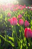 Tulipani festivi su un'aiola immagine stock libera da diritti