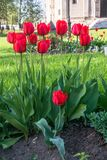 Tulipani festivi su un'aiola fotografia stock