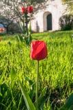 Tulipani festivi su un'aiola immagini stock libere da diritti
