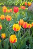 Tulipani festivi su un'aiola fotografia stock libera da diritti