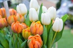 Tulipani fiore-arancio e bianchi della primavera Fotografie Stock Libere da Diritti
