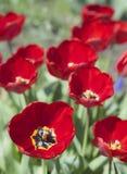 Tulipani in fiore in primavera Immagini Stock