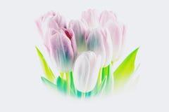 Tulipani Fiori dentellare su una priorità bassa bianca Fotografia Stock