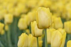 Tulipani fioriti dorati fotografie stock libere da diritti
