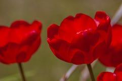 Tulipani in fioritura Fotografia Stock Libera da Diritti