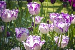 Tulipani forniti di punta porpora Immagine Stock