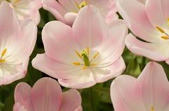 Tulipani fragili Immagini Stock Libere da Diritti