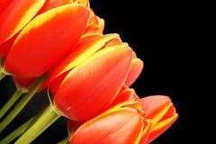 Tulipani freschi Fotografie Stock Libere da Diritti