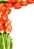 Tulipani freschi Immagine Stock Libera da Diritti