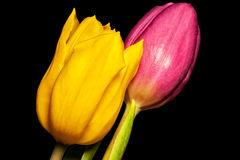 Tulipani freschi Fotografia Stock