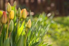 Tulipani freschi della molla con il fondo verde della sfuocatura Immagine Stock Libera da Diritti